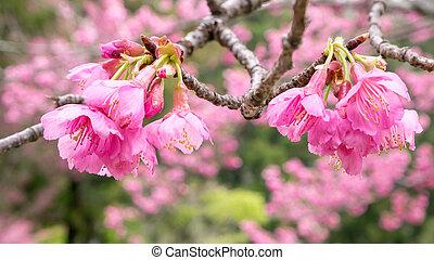 Sakura flower (cherry blossom)