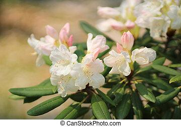 sakura flower of Cherry Blossom