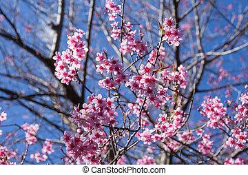 Sakura flower with branch on background in Northern Thailand