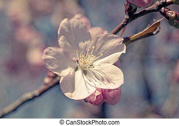 Sakura flowers at spring, macro shot