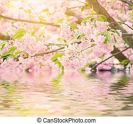Sakura flowers blooming - Fresh pink flowers of sakura...
