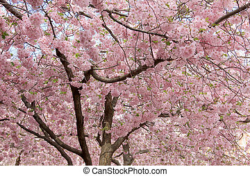 Sakura flowers four