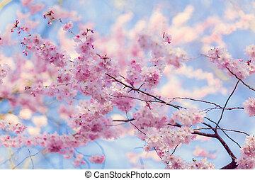 sakura, flowers.