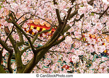 sakura, fondo, natura
