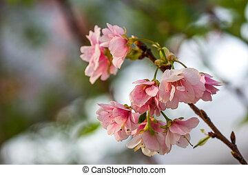 sakura, květiny