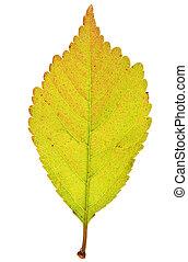 Sakura leaf