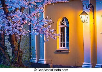 sakura, noc, lampa, oświetlany, rozkwiecony, scena
