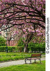 Sakura tree blossom in garden at springtime - beautiful...