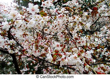 sakura tree branch cherry blossoms in close up