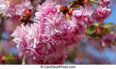 Sakura tree closeup - The sakura pink blossom closeup