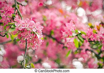 Sakura tree red blossoms in spring season