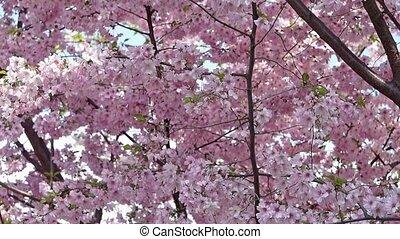 Sakura, close-up Japanese cherry.