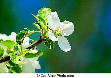 white flower apple tree on blue sky