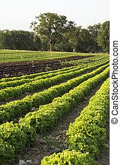 saláták, megfog, mezőgazdasági