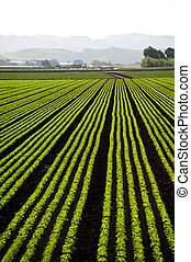 Salad Bowl - Rows of freshly planted lettuce in the Pajaro...