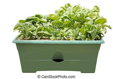Salad Container Garden