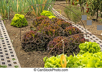 salad cultivation in a garden