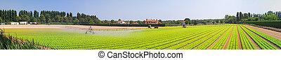 Salad field panorama