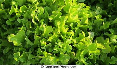 Salad growing in garden