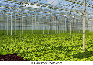 salad in greenhouse