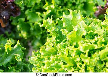 Salad leaf. Lettuce salad plant, hydroponic vegetable leaves