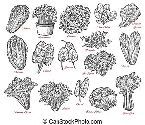 Salad leaves and vegetable vector sketches - Leaf vegetable...