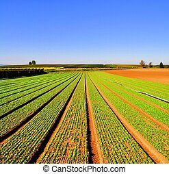 Salad rows - Agriculture landscape with rows of salad