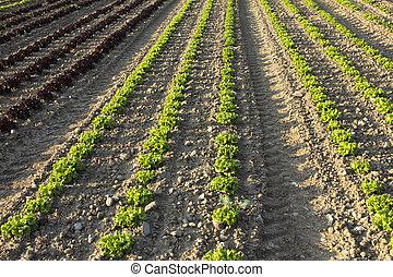 saladas, campos, agrícola