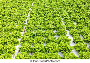 salade verte, industriel, croissance, serre