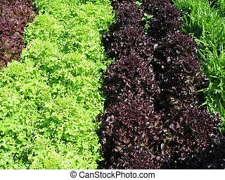 salade verte, jardin