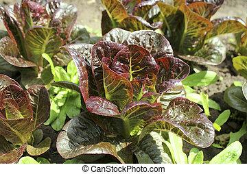 salade verte, romaine, croissant, sol