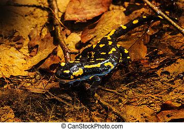 Salamander, fire salamander in nature, close up, macro