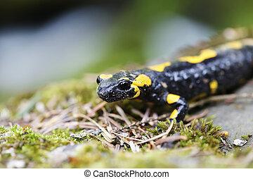 Salamander in the Wild - Black and yellow salamander in the...