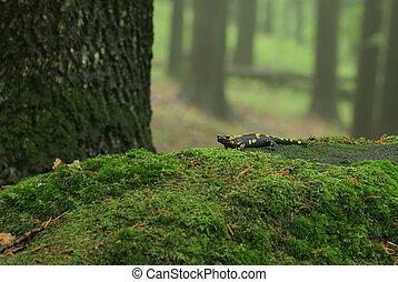 Salamandra in forest