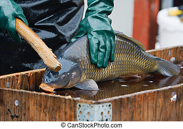 Sale of Christmas carps (Czech Christmas tradition)