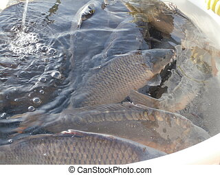 Sale of Christmas carps (tradition in Czech Republic)