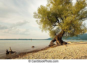 salgueiro, costa, lago, bodensee
