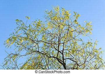 salgueiro, primavera, céu, fundo, árvore
