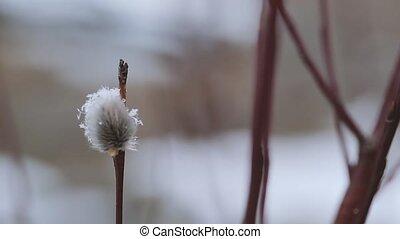 salgueiro, primavera, close-up, cedo, florescendo