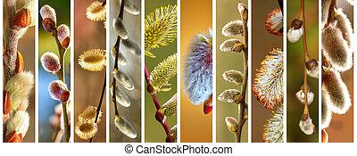 salgueiro, primavera, florescendo, ramos, cobrança