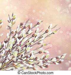salgueiro, primavera, florescendo, ramos