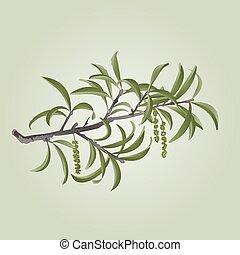 salgueiro, ramo, com, catkins, vector.eps