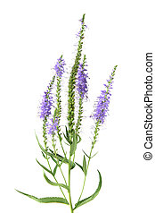 Salicaria - Purple salicaria spike flowers isolated on white