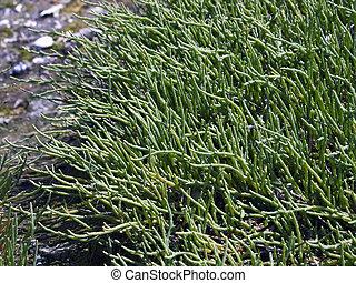 Salicornia (Sea Asparagus)
