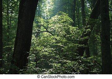 salida del sol, en, el, bosque
