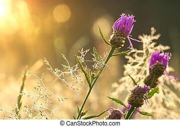 salida del sol, en, el, florecer, verano, pradera