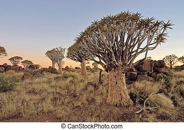 salida del sol, en, el, tiemble arbol, bosque, namibia