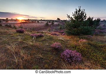 salida del sol, encima, praderas, con, florecimiento, brezo