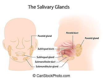 Salivary glands anterior and lateral view, eps10