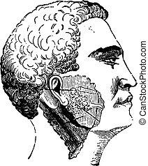 Salivary glands, vintage engraving. - Salivary glands, ...